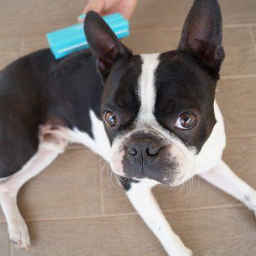 Kutyák otthoni szőrápolásának titka